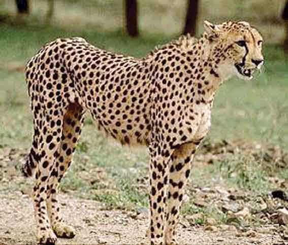 f93824f359 Cheetah spots are fairly round oval shaped and black and they sit on a tan  or orangy background. Leopard