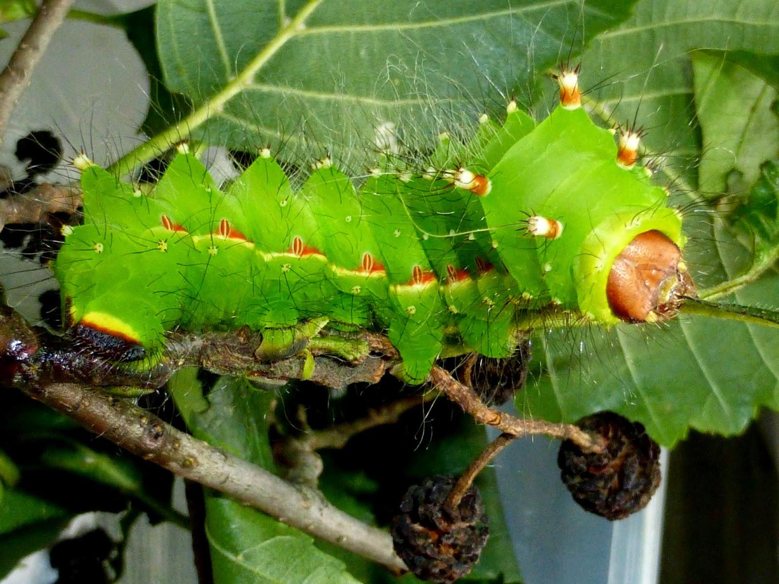 Actias sjoeqvisti L5 caterpillar
