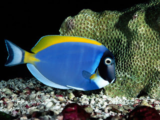 powder blue tang (12)