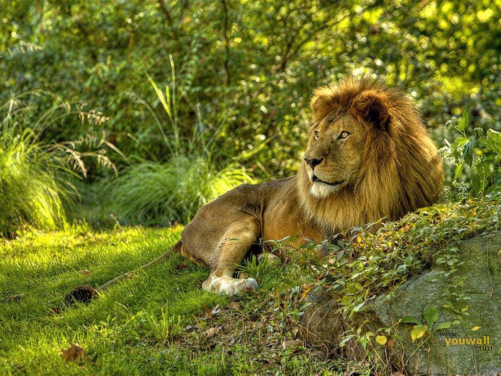 森の中で一休みするライオン