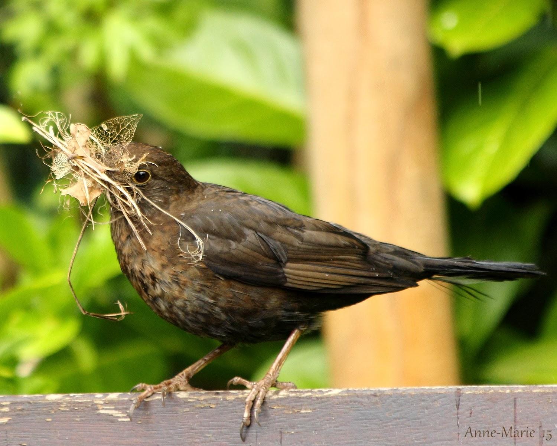 Tuynvrouwe merel in de tuin for Vliegen in de tuin