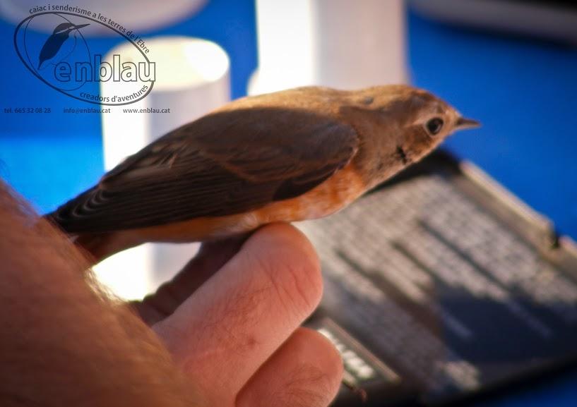 fent les medicions necessàries abans d'anellar un ocell