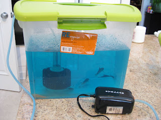 sponge filter and air pump installed in 5 gallon plastic tub