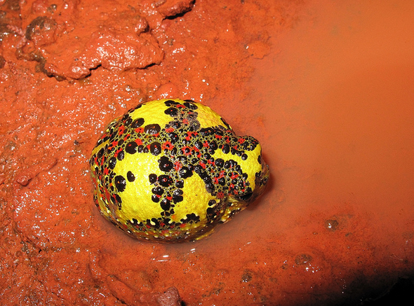 Yellow Holy Cross Frog (Notaden bennettii)