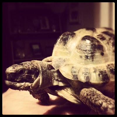 silent sunday, tortoise,