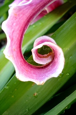 http://kerri-mortenson.artistwebsites.com/featured/lily-spiral-kerri-mortenson.html