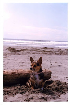 Westport, the ocean, cute, dog, chigi, corgi, beach