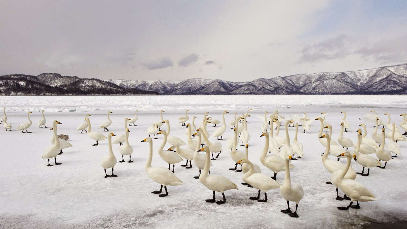 Whooper swans, Lake Kussharo, Akan National Park, Japan (© Ben Cranke/Corbis) 420