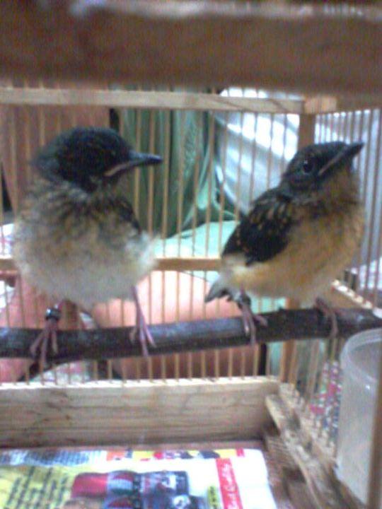 jual burung beli burung jual beli burung barter burung tukar tambah