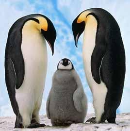 Pingüinos en Pareja y Cria