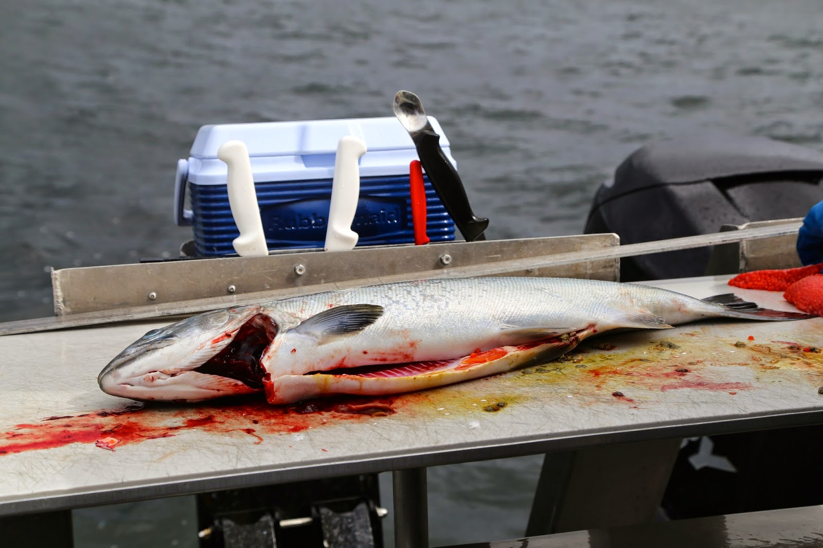 sockeye salmon being gutted on the boat, sitka, alaska