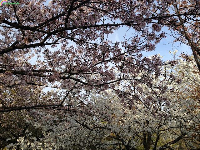 Hanami - Điểm hẹn văn hóa Nhật không thể bỏ qua