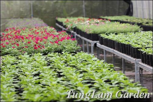 Hoa chuông million bells, Dạ yến thảo, hoa dạ yến thảo, dạ yến thảo rủ, hoa ban công, hoa treo, hoa treo ban công, dạ yến thảo cho ban công