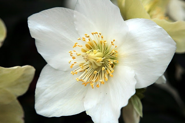 Christmas Rose Photo