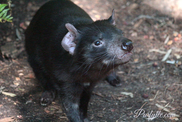 Tasmanian Devil's have a good sense of smell