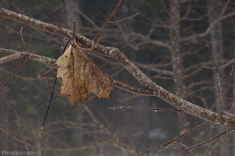 dying+maple+leaf.jpg