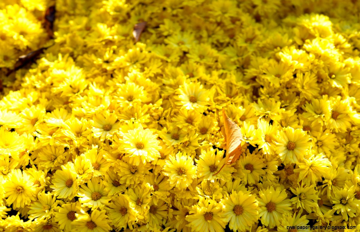 The RX1 Files   Yellow Flowers by