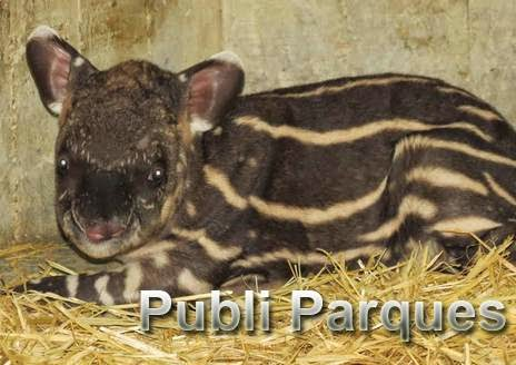 cría de tapir amazónico