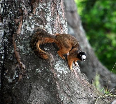 N.c. Squirrel Season Masked in South Caroli...