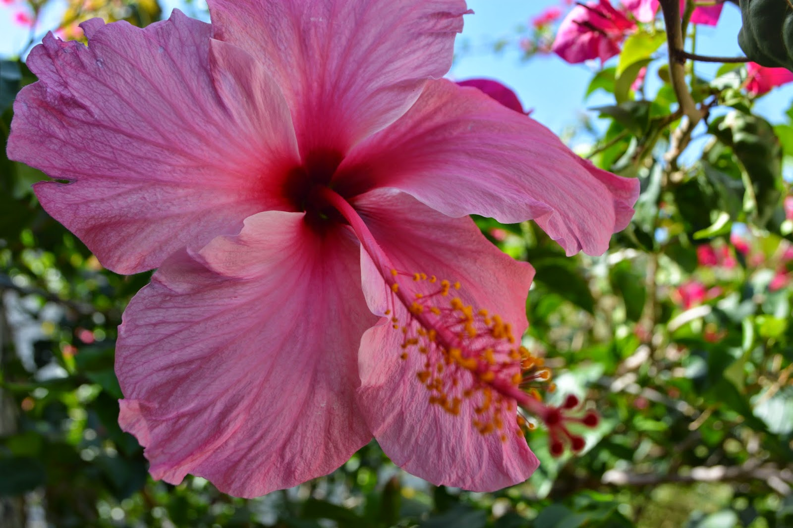 Hibiscus sinensis- Rosa China