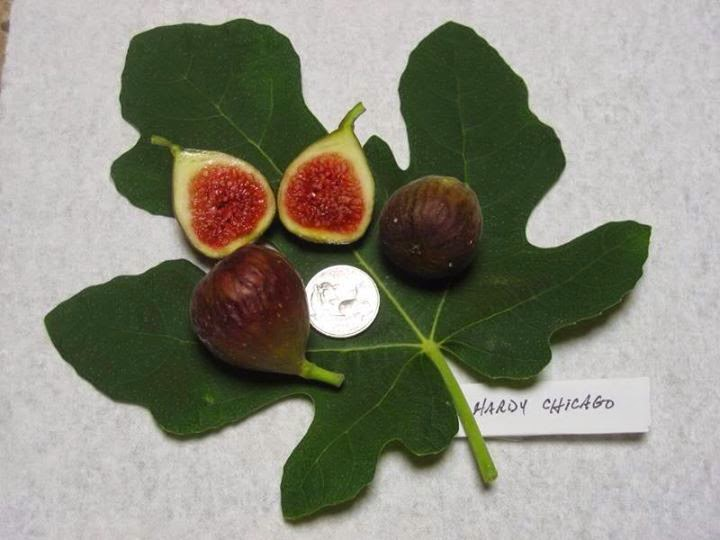 Chicago Hardy fig figs zagat