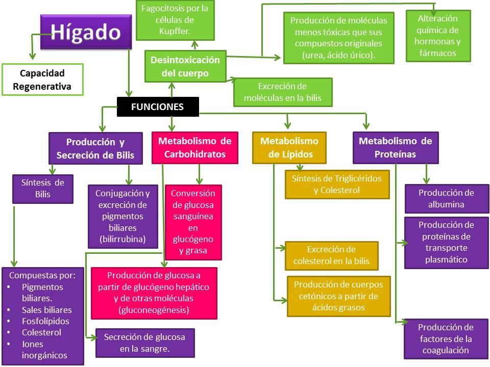 Fisiología de Alets: Funciones del Hígado