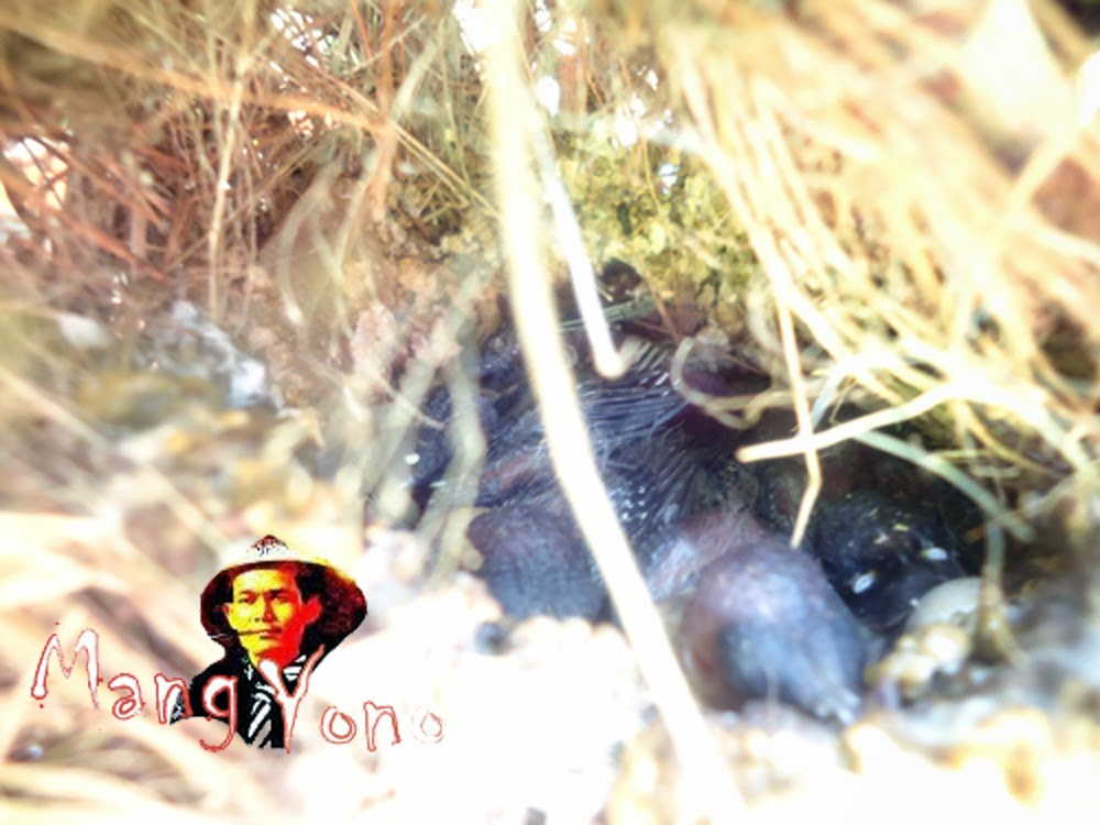 Cerita berburu telur burung Pipit, Anak burung, Sarang burung pipit