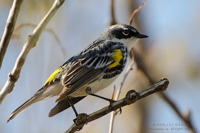 Yellow-rumped Warbler. Photo  © Shelley Banks, all rights reserved.