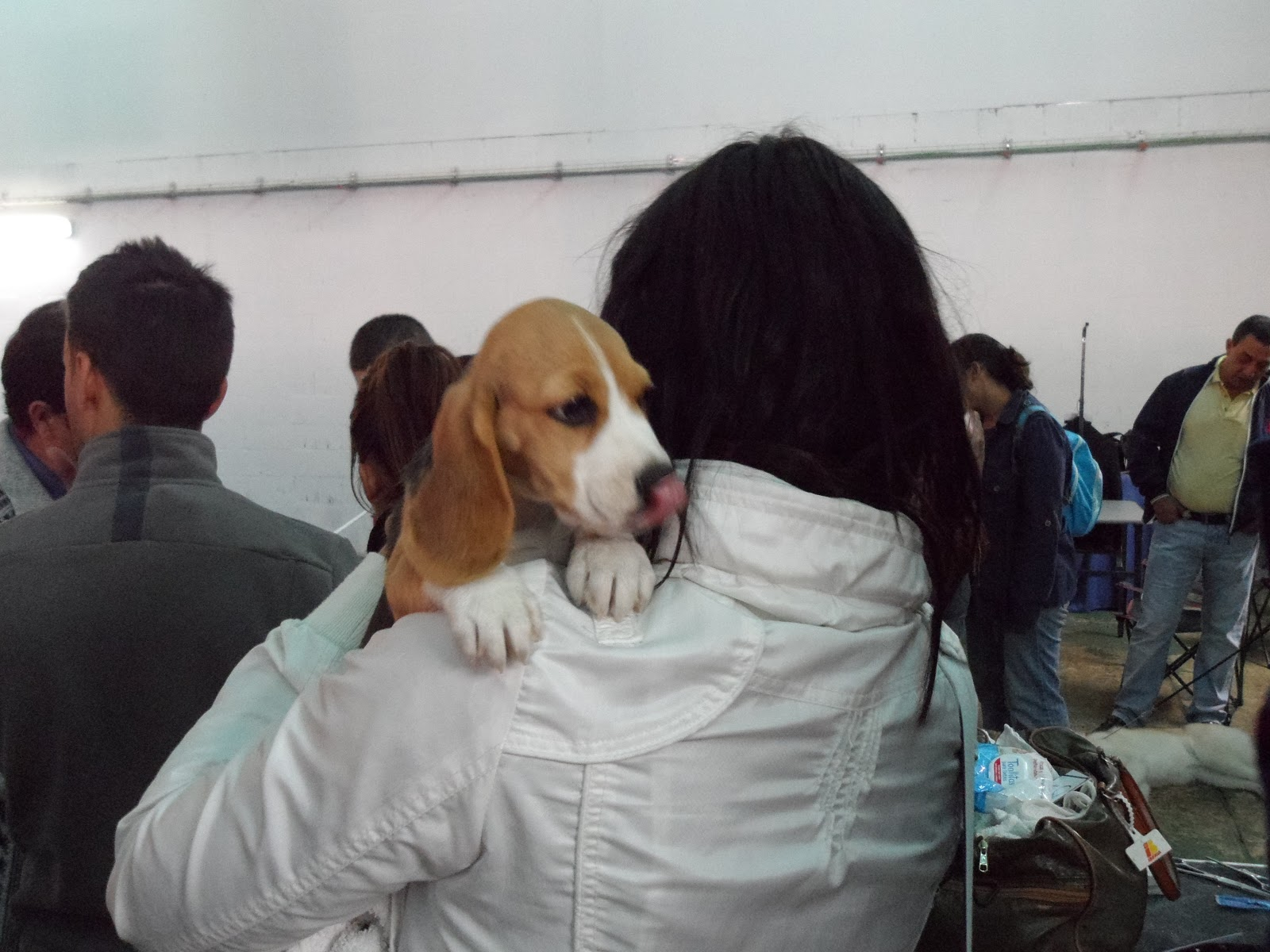 chica_beagle