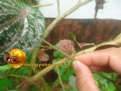 Pilih batang sirih merah, utamakan buku sirih merah memiliki akar semu.