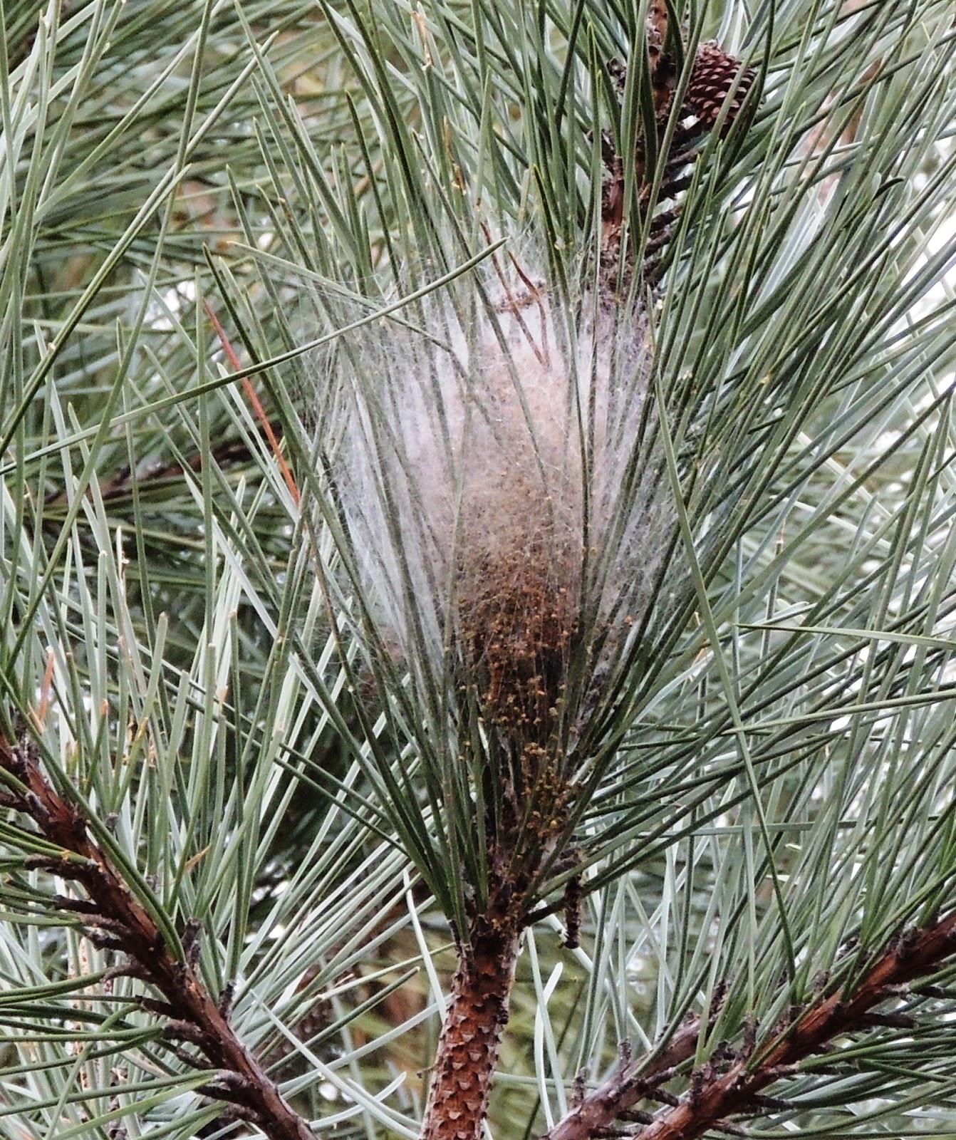 Nido de Procesionaria del pino