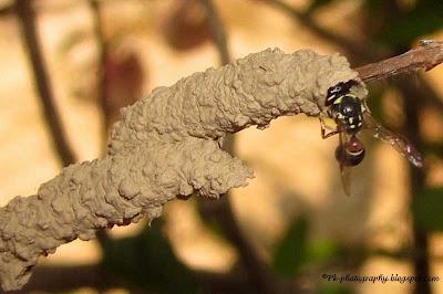 Mason Wasp