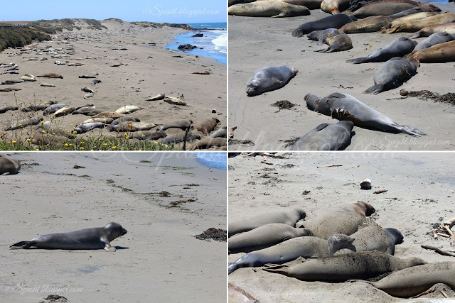 Spusht | Thousands of Elephant Seals on the way to Los Angeles