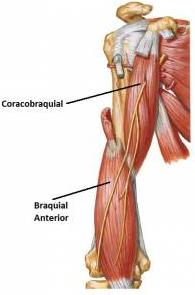 Musculo%2Bcoracobraquial A palpação do músculo coracobraquial