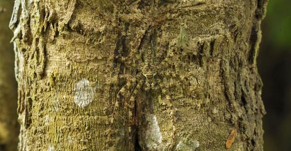 camuflajes de animales - Araña-líquen