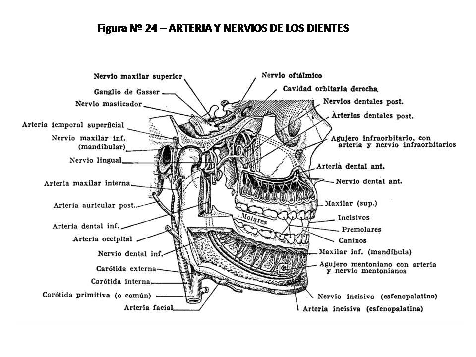ATLAS DE ANATOMÍA HUMANA: 24. ARTERIAS Y NERVIOS DE LOS DIENTES