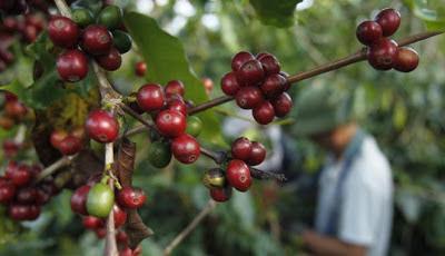 Mendag: Produksi Kopi RI Masih Kalah Jauh Dibanding Vietnam, Padahal, lahan kopi Indonesia lebih luas dibanding Vietnam.