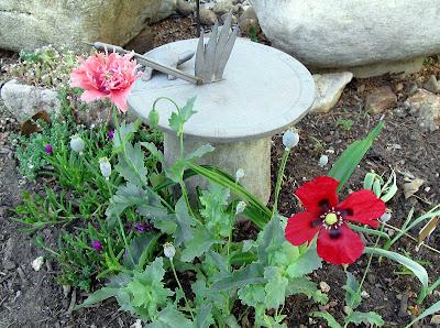 Annieinaustin,maroon & pink poppies
