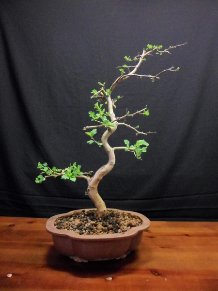 crataegus-espino-bonsai