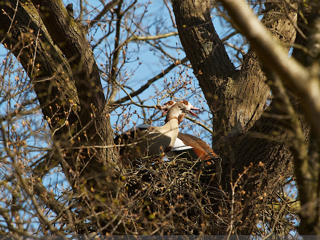 Nijlganzen op Haviksnest - Egyptian Geese on  Northern Goshawk nest