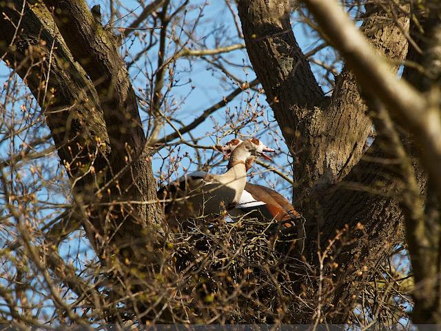 Nijlganzen op Haviksnest - Egyptian Geese on  Northern Goshawk nest