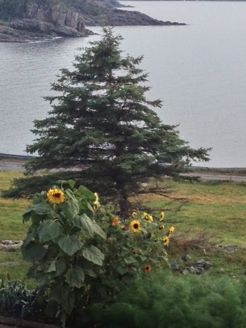 sunflowers, Bonavista Social Club, Upper Amherst Cove, Margaret Ryall