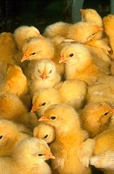 http://3.bp.blogspot.com/-Q4Lh2b2eMuc/UUnzMNVkSJI/AAAAAAAAAd8/lg8uCeCuvjU/s1600/baby-chicks.jpg
