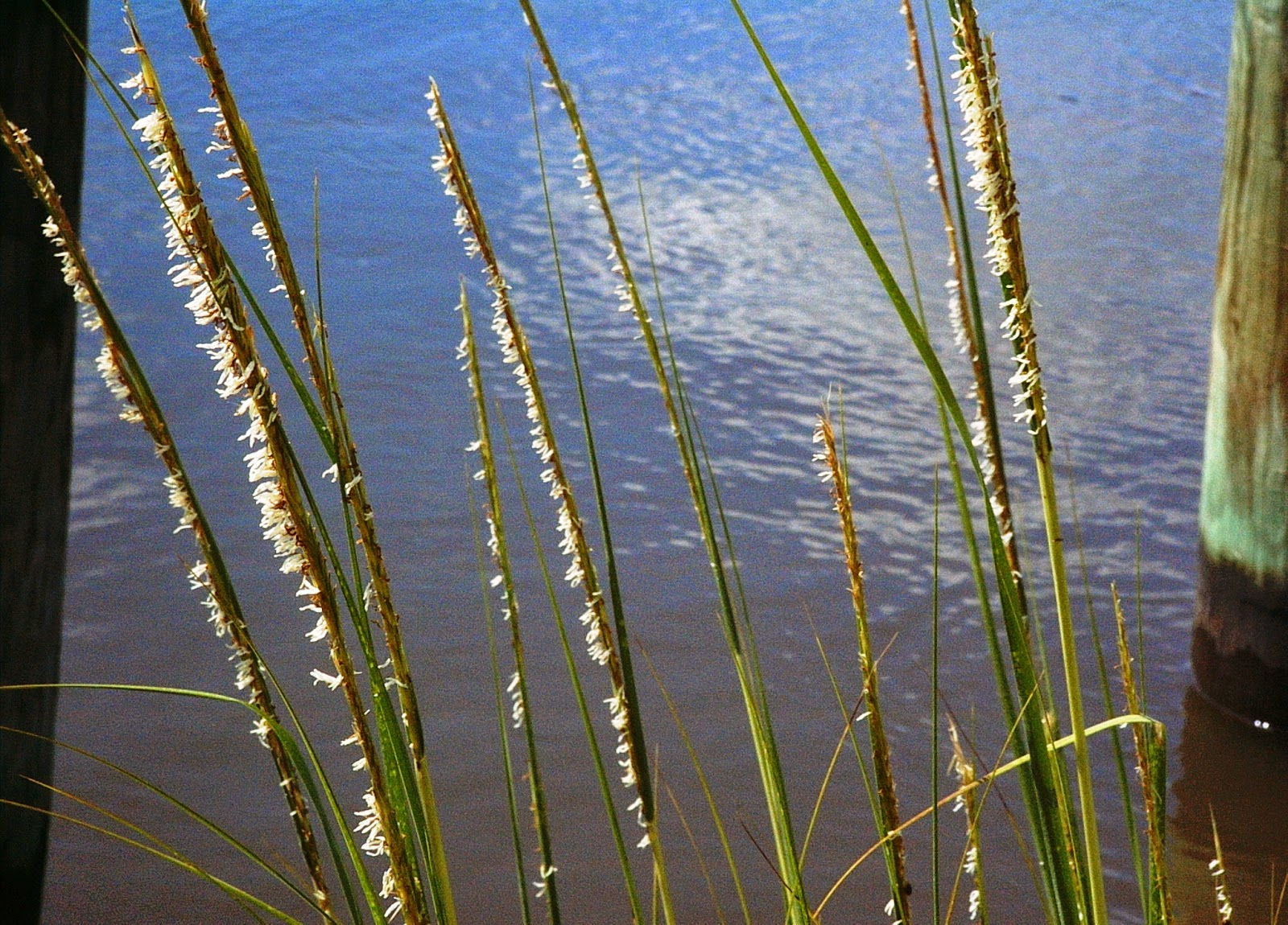 pinelands nursery spartina alterniflora smooth cordgrass