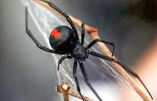 عنكبوت الارملة السوداء السامة