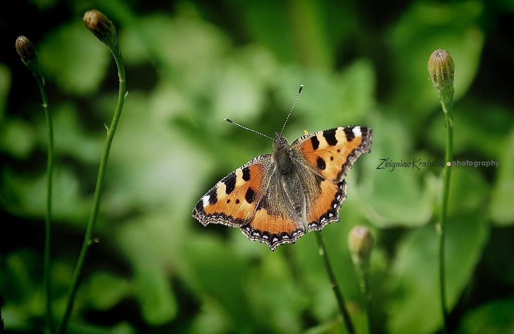 Siatka na motyle, początek lata i dzień taty