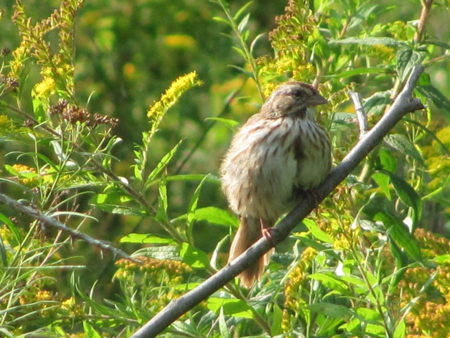 Raising Of Sparrow Pictures : Bird Blog: Song Sparrow