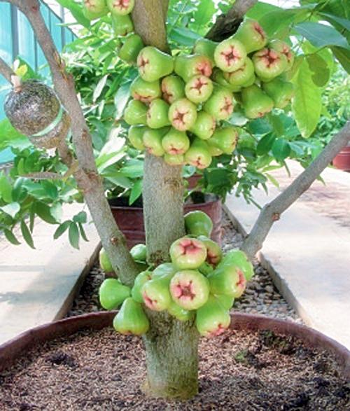 Tips Tanaman Buah Dalam Pot Cepat Berbuah Budidayaku