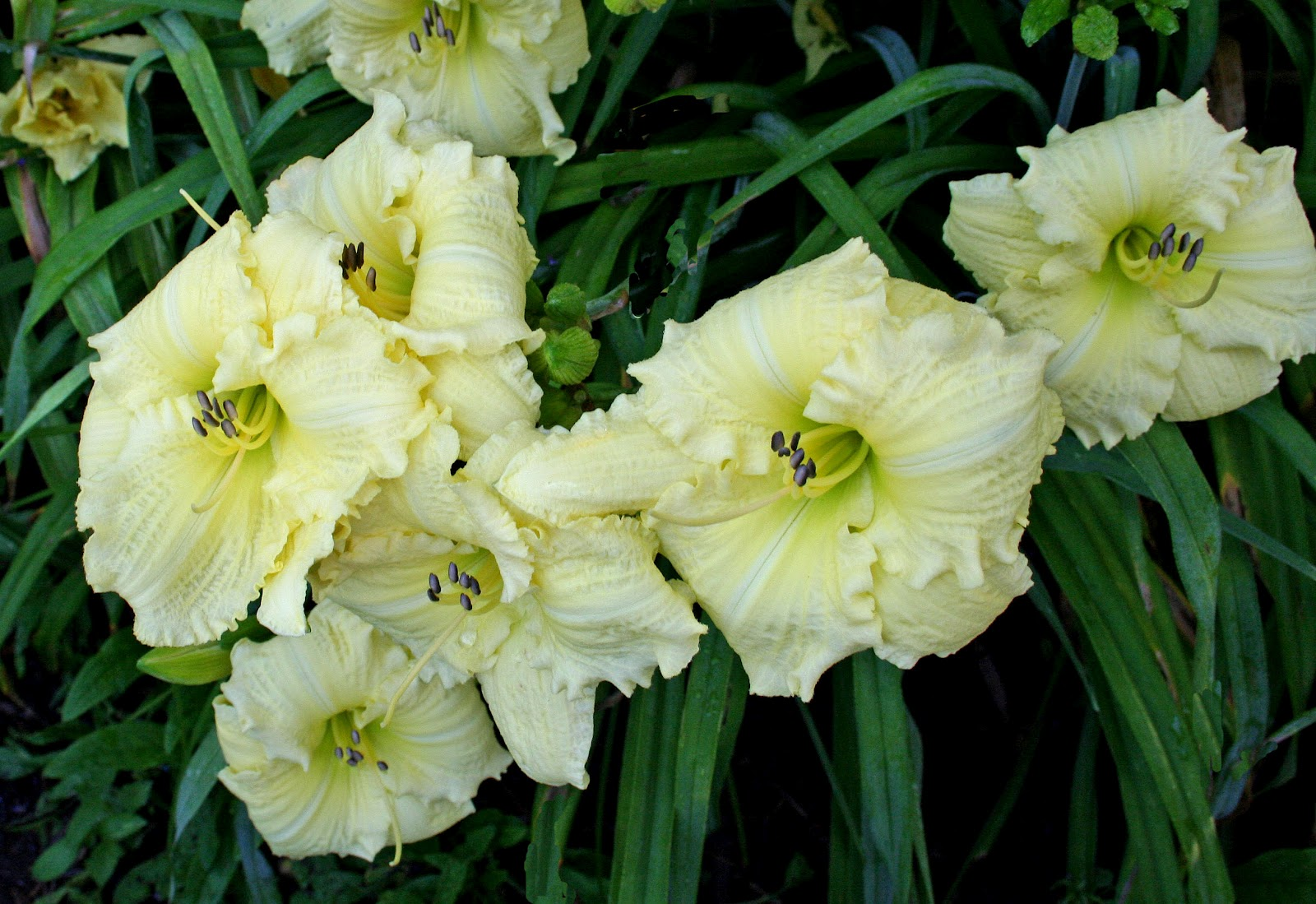 The ones that got away, Part I | Daylily Blog - Gardening in Virginia