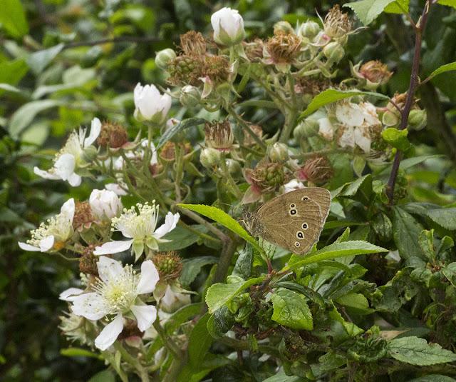 Ringlet, Aphantopus hyperantus.  Jubilee Country Park butterfly walk, 15 July 2012.